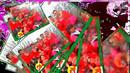 广红广场舞《纳西情歌》